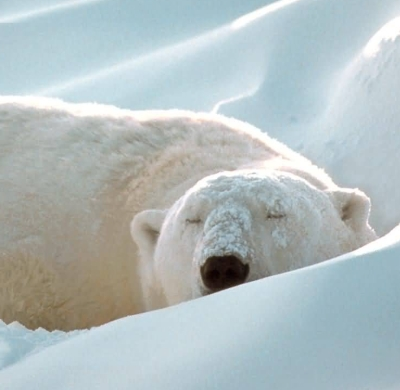 sovende-isbjorn2